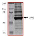 Akt2 (human), (recombinant) SDS-PAGE
