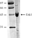 Erk1 (human), (recombinant) SDS-PAGE