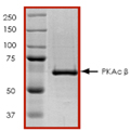 PKA Catalytic β (human), (recombinant) (GST-tag) SDS-PAGE