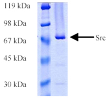Src (human), (recombinant) (GST-tag) SDS-PAGE