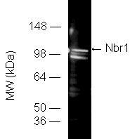 Nbr1 (human) polyclonal antibody Western blot