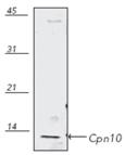 Cpn10 polyclonal antibody Western blot