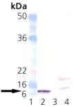 GroES (E. coli) polyclonal antibody Western blot