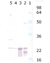 αA/αB-Crystallin polyclonal antibody Western blot