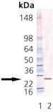 GrpE (E. coli) polyclonal antibody Western blot
