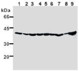 HSP40/Hdj1 monoclonal antibody (2E1) Western blot