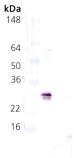 [pSer78]HSP27 polyclonal antibody Western blot