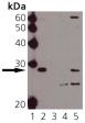 [pSer15]HSP27 polyclonal antibody Western blot
