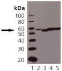 ERp57 polyclonal antibody Western blot
