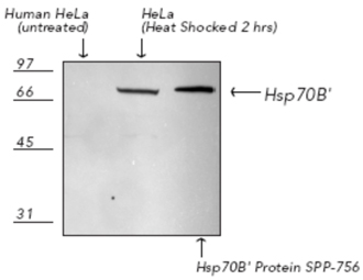 HSP70B' polyclonal antibody Western blot