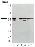 HSP70/HSP72 polyclonal antibody Western blot