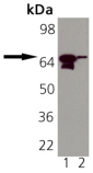 HSP70/HSP72 monoclonal antibody (N31F2-4) Western blot