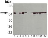 HSP70/HSP72 monoclonal antibody (C96F3-3) Western blot