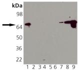 HSP70/HSP72 monoclonal antibody (N15F2-5) Western blot