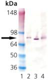 HSC70 (plant) monoclonal antibody (1D9) Western blot
