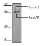HSC70/HSP70 monoclonal antibody (N27F3-4) (AP conjugate) Western blot