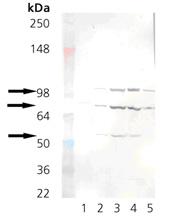KDEL monoclonal antibody (10C3) Western blot