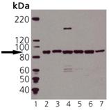 HSP90 polyclonal antibody Western blot