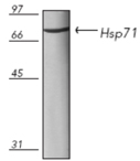 HSP71 (mycobacterial) monoclonal antibody (5A8) Western blot