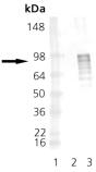 [pSer326]HSF1 polyclonal antibody Western blot