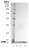 Cpn10 (human), (recombinant) SDS-PAGE