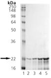 αB-Crystallin (bovine), (native) SDS-PAGE