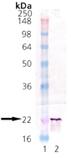 αB-Crystallin (bovine), (native) Western blot
