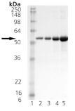 HSP40/Hdj2 (human), (recombinant) SDS-PAGE