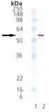 HSP40/Hdj2 (human), (recombinant) Western blot