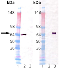 HSP70-A1 (mouse), (recombinant) Western blot