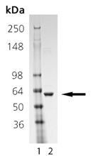 HSP60 (human), (recombinant) SDS-PAGE