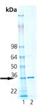 HO-2 (human), (recombinant) SDS-PAGE