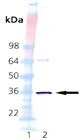 HO-2 (human), (recombinant) Western blot