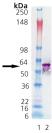 GroEL (E. coli), (recombinant) Western blot