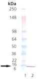 GroES (E. coli), (recombinant) Western blot