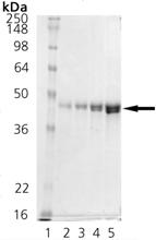 DnaJ (E. coli), (recombinant) (His-tag) SDS-PAGE