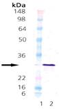 HSP27 (human), (recombinant) Western blot