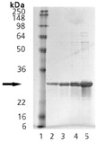HSP27 (phospho) (human), (recombinant) SDS-PAGE