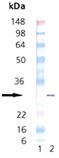 HSP27 (phospho) (human), (recombinant) Western blot