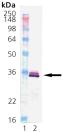 HO-1 (human), (recombinant) Western blot