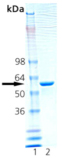 HSP60 (rat), (recombinant) SDS-PAGE