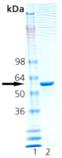 HSP60 (rat), (recombinant) SDS-PAGE
