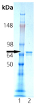 HSC70/HSP73 (bovine), (recombinant) SDS-PAGE