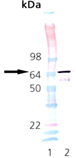 HSP70/HSP72 (rat), (recombinant) SDS-PAGE