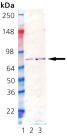 Grp78/BiP (hamster), (recombinant) Western blot