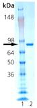 HSP90 (human), (native) SDS-PAGE