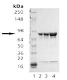 HSP90β (human), (recombinant) SDS-PAGE