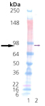 HSP90β (human), (recombinant) Western blot