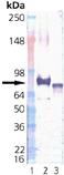 Grp75/Mortalin (human), (recombinant) Western blot