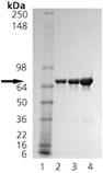 TRAP1 (human), (recombinant) (His-tag) SDS-PAGE